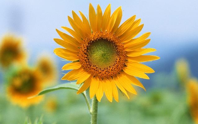 single-sun-flower